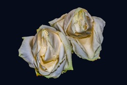 Surrealistic aged white yellow rose blossom pair macro,dark blue background, color fine art still life image of two blooms with detailed texture