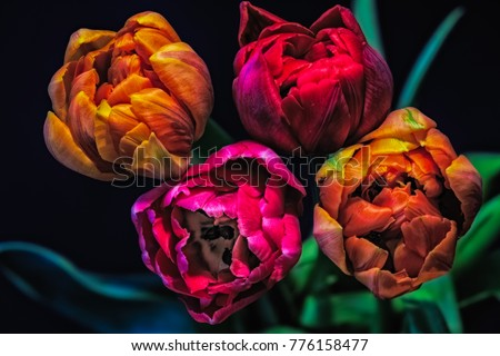 surrealistic bouquet of four red pink yellow tulip blossoms, fine art still life colorful flower macro of a bunch of blooms, a quartet on natural and black blurred background