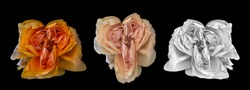 Surrealistic collage of three aged rose blossoms, vintage fantasy painting style on black background