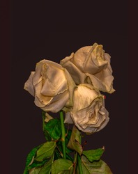 surrealistic fading white golden rose blossom trio macro,dark violet brown background, color fine art still life image of a bouquet with green leaves