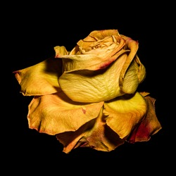 surrealistic golden yellow rose blossom macro,aged single isolated bloom,black background,vintage painting style