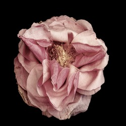 surrealistic pastel pink rose blossom macro,aged single isolated bloom,black background,vintage painting style