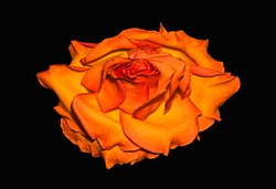 surrealistic single isolated dark orange yellow rose blossom macro,vintage painting style,black background,detailed texture