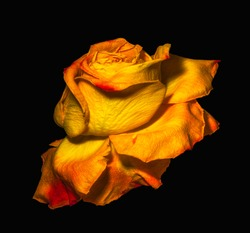 surrealistic vintage red yellow rose blossom macro,aged single isolated bloom,black background,vintage painting style