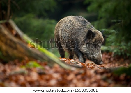 Photo of Sus scrofa. The wild nature of the Czech Republic. Free nature. Picture of an animal in nature. Beautiful picture. Animal in the woods. Deep forest. Mysterious Forest. Wild. From animal life.