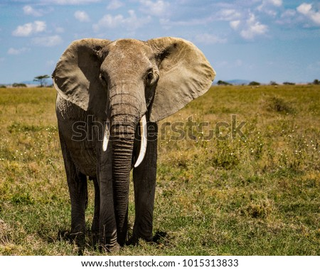 Suspicious elephant while being photographed in Serengeti, Tanzania