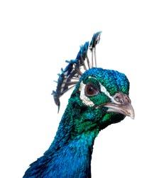Suspicious peacock on white background