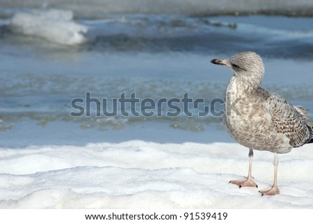 Suspicious seagull standing on the frozen beach of Ruegen island, Germany