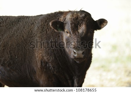 Sussex bull on a beef farm in Himeville,Kwazulu Natal, South Africa