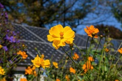 Sustainability in action with cosmos flowers and solar panels coexisting in a pollinator garden on a sunny fall day. Cosmos are herbaceous perennial or annual plants and attract bees and butterflies.