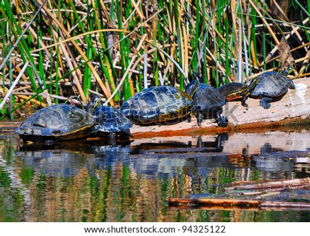 Suwannee River Cooter Turtles (Pseudemys concinna suwanniensis) Sunbathing on a Log, Edward Ball Wakulla Springs State Park, Florida, USA