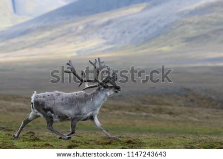 svalbard reindeer running across tundra on summer day in coles bay, svalbard. Сток-фото ©