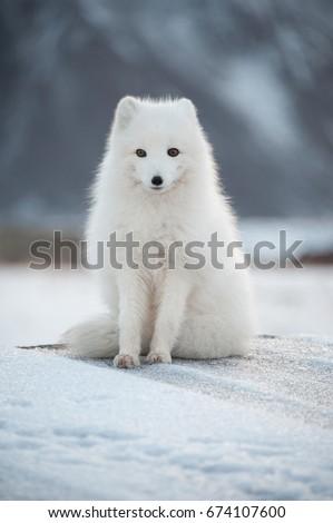Svalbard - Renard Polaire - Arctic Fox #674107600