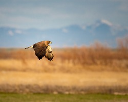 Swainson Hawk flying over field with mountain background
