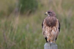 Swainson Hawk perched Profile Shot.