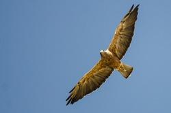 Swainson's Hawk Flying in a Blue Sky