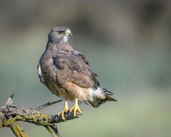 Swainson's hawk, is a large Buteo hawk of the Falconiformes, sometimes separated in the Accipitriformes like its relatives. This species was named after William Swainson, a British naturalist.