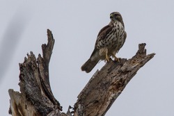 Swainson's Hawk on stump in Texas
