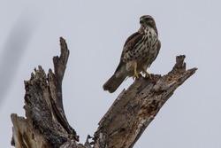 Swainson's Hawk on stump in Texas