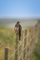 Swainson's Hawk perched on a fence post in the farmlands of Alberta Canada