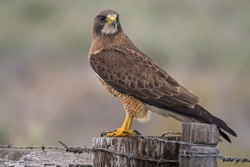 Swainson's Hawk Perching on a Wooden Fence