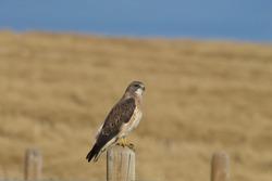 Swainson's Hawk with golden crop in background, Alberta, Canada