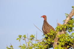 Swainson's spurfowl perched in a tree with clear sky background, Kruger National Park, South Africa