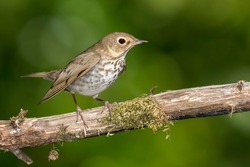 Swainson's Thrush (Catharus ustulatus)  in Galveston County, Texas, United States, during spring migration.