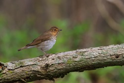 Swainson's Thrush perched on a log in from of a green leafy background.