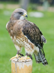 Swainsons hawk on a post in a field of green grass