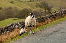 Swaledale ewe and her small lamb at the side of a single track road on the high fells around Swaledale in North Yorkshire, UK.  Springtime.  Facing forward.  Horizontal.  Copy Space