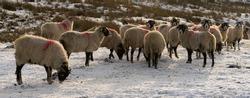 Swaledale ewes on frozen moorland in winter