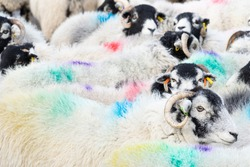 Swaledale ewes with colourful wool markings