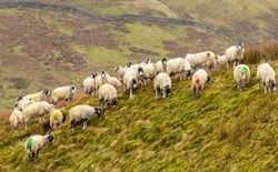 Swaledale sheep in winter.  A flock of Swaledale ewes on remote unfenced moorland near Keld in North Yorkshire.  Harsh, cold wet weather.  Horizontal.  Space for copy.