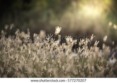 Swallen Fingergrass, Finger Grass