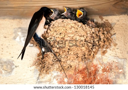 Swallow and baby birds in nest