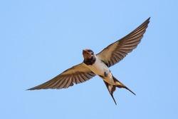 Swallow (bird) in flight over blue sky.