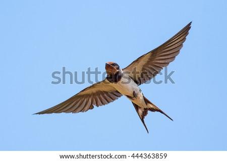 Photo of  Swallow (bird) in flight over blue sky.