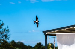 Swallow bird mid air, side view, wide spread tail