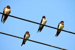 Swallow bird on the line
