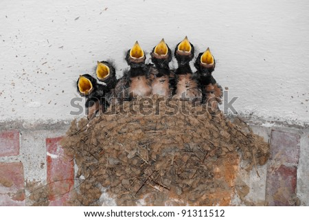Swallow nest with six hungry baby birds calling for food