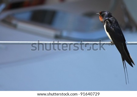 Swallow sitting on a rope