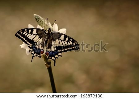 Swallow tail Papilio Machaon