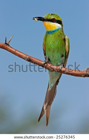 Swallow-tailed bee-eater (Merops hirundineus) perched on a branch, South Africa