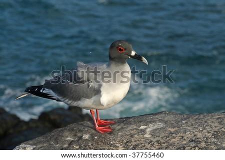 Swallow-tailed gull, Española Island, Galapagos