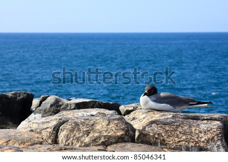 Swallow-tailed gull resting by the sea in the Galapagos Islands