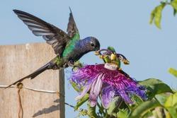 Swallow-tailed Hummingbird (Eupetomena macroura) feeding on a Crato Passion Fruit Flower (Passiflora cincinnata)