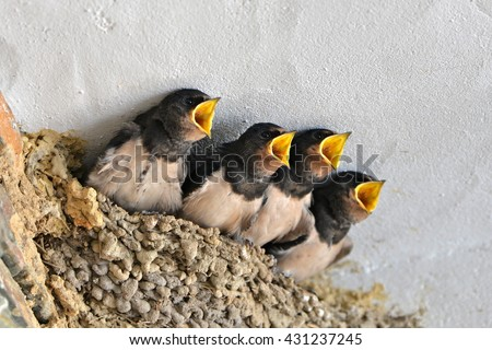 Swallows, babies in the nest