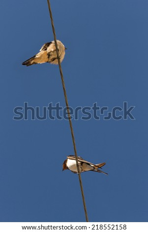 Swallows bottom view. Perched on a power line with blue sky background