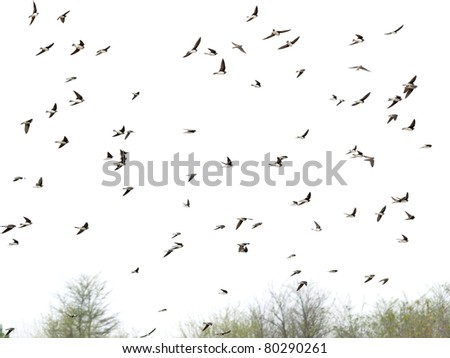 Swallows, flock of  birds  (Sand Martin ) isolated on white backgrounds, textures